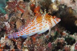 BD-161025-Reta-2649-Cirrhitichthys-falco.-Randall.-1963-[Dwarf-hawkfish].jpg